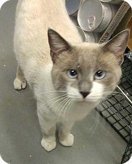 Siamese Cat for adoption in Dallas, Texas - Big Toe