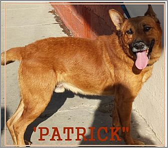 Golden Retriever/Shepherd (Unknown Type) Mix Dog for adoption in El Cajon, California - Patrick