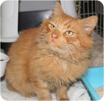 Maine Coon Cat for adoption in Berkeley Hts, New Jersey - Scrunchy