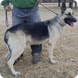 clyde adopted dog keller tx german shepherd dog mix