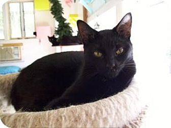 Domestic Shorthair Cat for adoption in Griswold, Connecticut - Eric