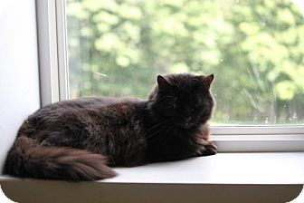 Domestic Mediumhair Cat for adoption in East Smithfield, Pennsylvania - White Lightening