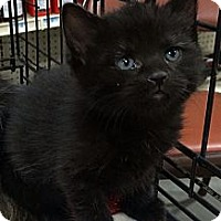 Adopt A Pet :: Little Bear - Harrisburg, NC