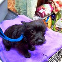 Adopt A Pet :: Amos - Kirkland, WA