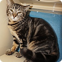 Domestic Shorthair Kitten for adoption in Converse, Texas - Chelsea