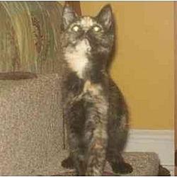 Photo 2 - Domestic Shorthair Kitten for adoption in Trexlertown, Pennsylvania - Starry