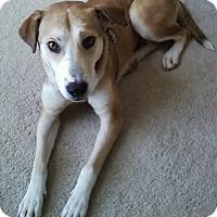 Adopt A Pet :: Bella aka Honey the Husky - Midlothian, VA