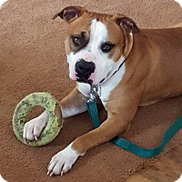 Adopt A Pet :: Bruiser - Troy, MI