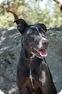 German Shorthaired Pointer Mix Dog for adoption in Mountain Center, California - Vader