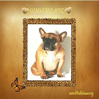 French Bulldog Dog for adoption in Alabaster, Alabama - Ginger Cate
