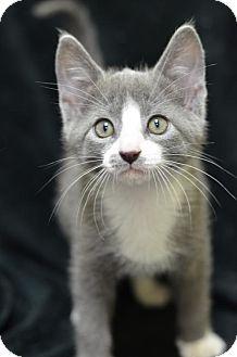 Domestic Shorthair Kitten for adoption in Atlanta, Georgia - Nugget160946