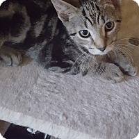 Domestic Shorthair Kitten for adoption in Berkeley Hts, New Jersey - Squirt