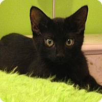 Domestic Shorthair Kitten for adoption in Naperville, Illinois - Emmett-14 WEEKS