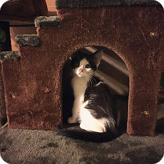 Domestic Mediumhair Kitten for adoption in Davie, Florida - Hope