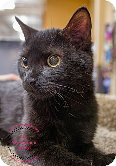 Domestic Shorthair Cat for adoption in Staten Island, New York - Spring