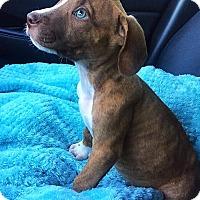 Adopt A Pet :: Floki - Dallas, TX