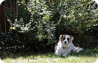 St. Bernard Mix Dog for adoption in Denver, Colorado - Mona