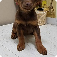 Shepherd (Unknown Type) Mix Puppy for adoption in New York, New York - Roxy