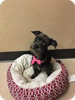 Schnauzer (Standard) Mix Puppy for adoption in DeForest, Wisconsin - Bonnie