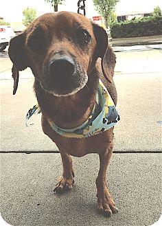 Dachshund Dog for adoption in Pulaski, Tennessee - Angus