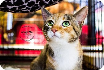 Domestic Shorthair Kitten for adoption in Mooresville, North Carolina - A..  Erika