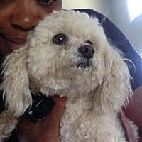Adopt A Pet :: Cream - Atlanta, GA