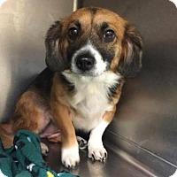 Adopt A Pet :: Lassie - Beckley, WV