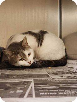 Polydactyl/Hemingway Cat for adoption in Acworth, Georgia - Roseanne
