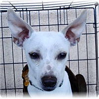 Adopt A Pet :: Cool Hand Luke - Las Vegas, NV