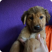 Adopt A Pet :: Dizzy - Oviedo, FL