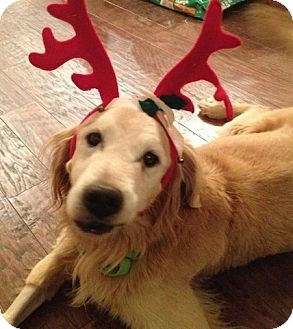 Golden Retriever Dog for adoption in Foster, Rhode Island - Max