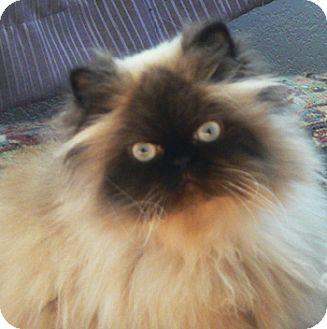 Himalayan Cat for adoption in Davis, California - Kabira