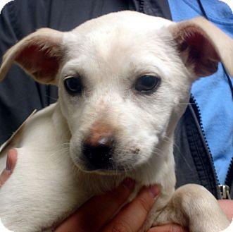 Beagle/Labrador Retriever Mix Dog for adoption in baltimore, Maryland - Gabby