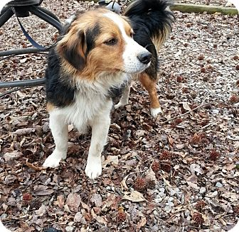 Sheltie, Shetland Sheepdog/Border Collie Mix Dog for adoption in Plainfield, Connecticut - Rascal