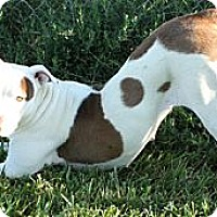 American Staffordshire Terrier Mix Dog for adoption in Toluca Lake, California - Gabby