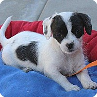 Adopt A Pet :: Clover - La Habra Heights, CA