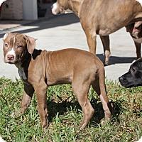 Adopt A Pet :: Duke - Ft. Myers, FL