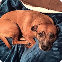 Pit Bull Terrier Mix Dog for adoption in Dayton, Ohio - Cocoa Puff