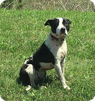 American Staffordshire Terrier Mix Dog for adoption in Schertz, Texas - Oscar - urgent foster needed