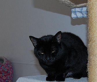 Domestic Shorthair Cat for adoption in Brainardsville, New York - Sara