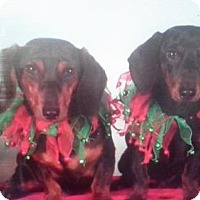 Dachshund Dog for adoption in New York, New York - Noelle and Ninja
