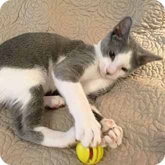 Domestic Shorthair Kitten for adoption in Arlington/Ft Worth, Texas - Milo
