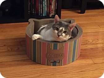 Domestic Shorthair Cat for adoption in New York, New York - Mia