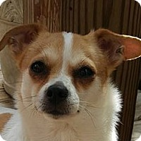 Chihuahua Mix Dog for adoption in Hazlet, New Jersey - Lil Rosie