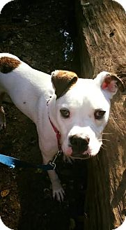 American Bulldog/Boxer Mix Dog for adoption in Columbia, Maryland - Jake