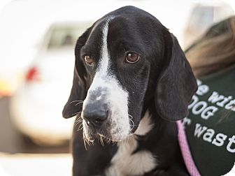 Basset Hound Mix Dog for adoption in Dallas, Texas - Opie