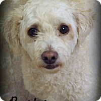 Bichon Frise/Poodle (Miniature) Mix Dog for adoption in Anaheim Hills, California - Buster