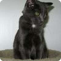 Domestic Shorthair Cat for adoption in Powell, Ohio - Mitzi