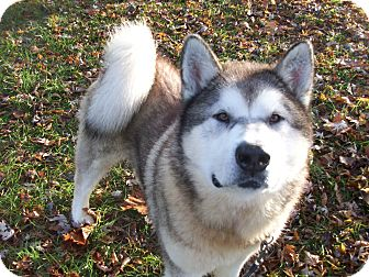 Alaskan Malamute Mix Dog for adoption in Augusta County, Virginia - Axel