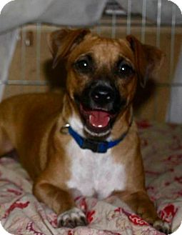 Chihuahua/Dachshund Mix Dog for adoption in Palm Harbor, Florida - Foster/Adopter needed - chiweenie